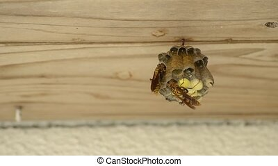 Child rearing polistes japonicus in nest under wood eave
