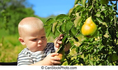 Child ripping off fruit - Child ripping off pear from the...