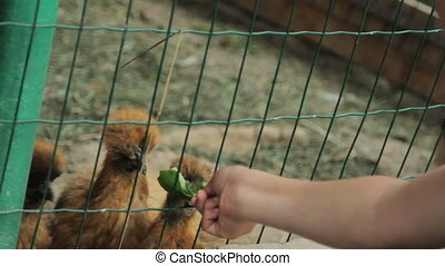 Children feed chiken in cage HD