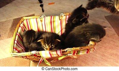 children kittens Maine Coon