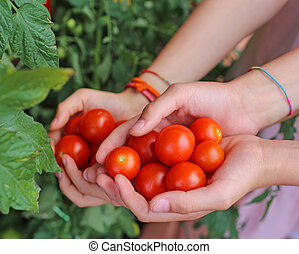 children with hands full of fresh tomatoes just harvested from t