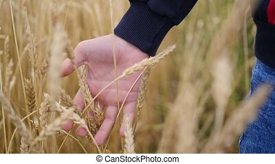 Children's hand touches the ears of wheat in a field