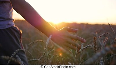 Children's hand touches the ears of wheat in a field. Sunset time