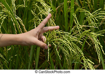 Child's hand holds rice spikelets in a rice field on a farm.