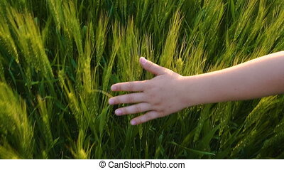 Child's hand touching green ears of wheat at sunset