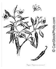 Chile pepper (Capsicum annuum)