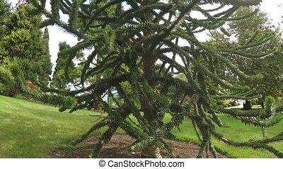 Chilean Araucaria conifer