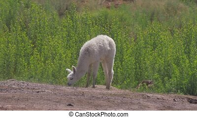 Chilean Baby Llama, Grazing - This clip is available in...