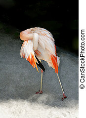 Chilean Flamingo Preening