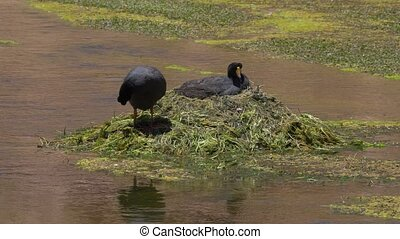 Chilean Giant Coots - This clip is available in different...
