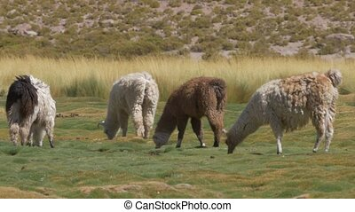 Chilean Llama(s), Grazing - This clip is available in...