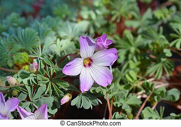 Chilean oxalis - Latin name - Oxalis adenophylla