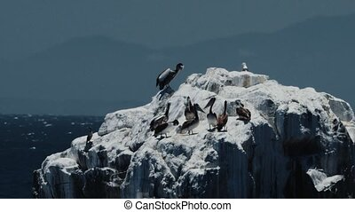 Chilean Pelican(s), Sitting On A Rock At Valparaiso Harbor -...