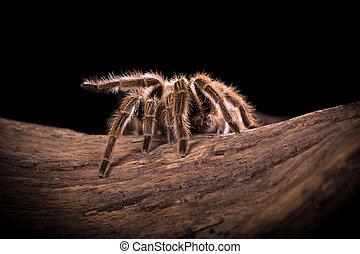 Chilean Rose Tarantula spider