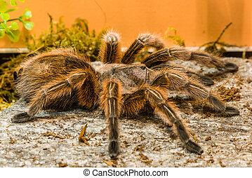 Chilean rosean tarantula