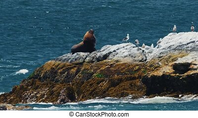 Chilean Sea Lion Laying On A Rock At Valparaiso Harbor, Heat...