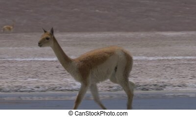 Chilean Vicunas - This clip is available in different...