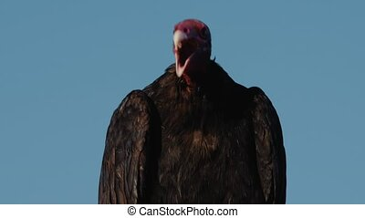 Chilenean Vulture Sitting On A Rock, Drying Itself - This...