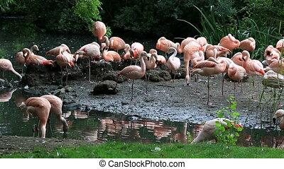 chilenisch, Europa, flamingo, Tiergärten, republik, irland,...