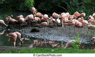 chilenisch, flamingo., ältesten, tiergärten, in, europe.,...