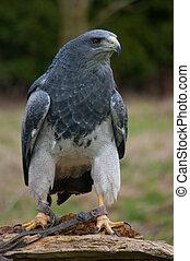 chileno, águila