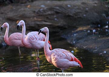 chileno, flamencos, phoenicopterus