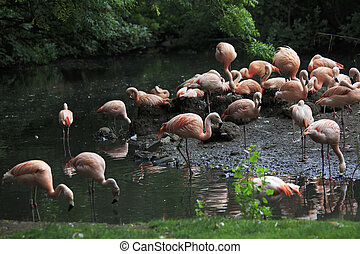 chileno, flamingo.