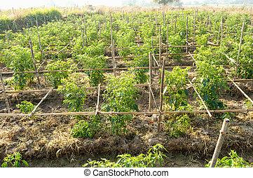 Chili farm 2