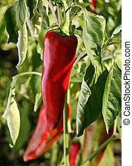 Chili pepper in garden