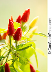 chili peppers closeup. small spicy plant. blurry background