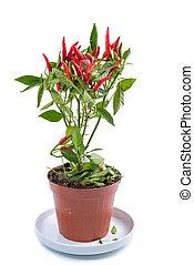 Chili Red Plant