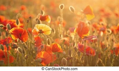 Chili red poppies growing in a shiny field in Ukraine in the...