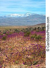 chilien, phénomène, el, atacama., desierto, florido),...