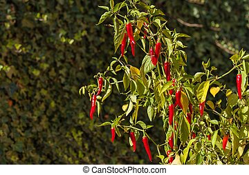 Chilli pepper in the garden. Growing vegetables. Hot spices in the food.