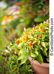 Chilli pepper in the garden.