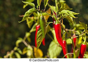 Chilli pepper in the garden. Growing vegetables.