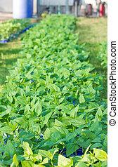 Chilli plant farm.