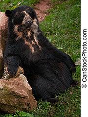 Chillin - Andean Bear