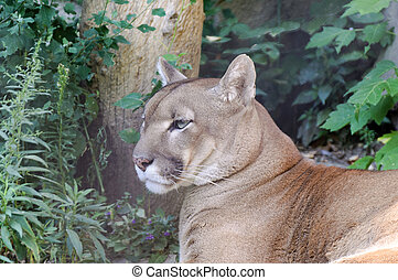 Chilling puma - Puma chilling in the summer time