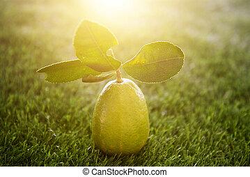chimique, citron, gratuite, lumière soleil