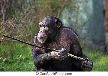 Chimp - A female chimpanzee holding a stick