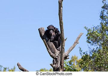 Chimp monkey