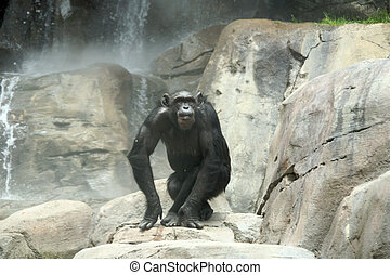 Chimp on the Rocks