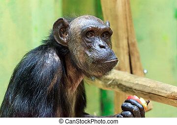 Chimp portrait - Beautiful portrait of the common chimpanzee...