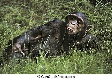 chimpanzé, cheeky