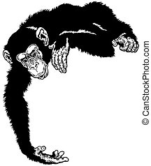 chimpanzee black white - chimpanzee or chimp ape, black and...