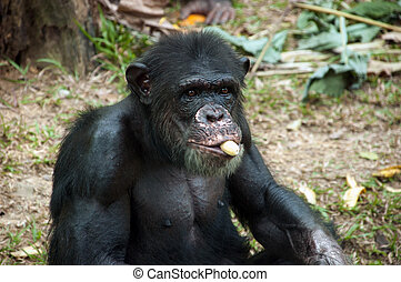 Chimpanzee eating banana