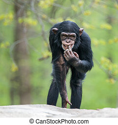 Frontal Portrait of a Cheeky Young Chimpanzee