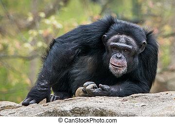 Chimpanzee III