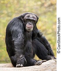 Chimpanzee IV